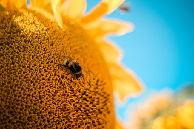 bumble-bee-on-the-sunflower