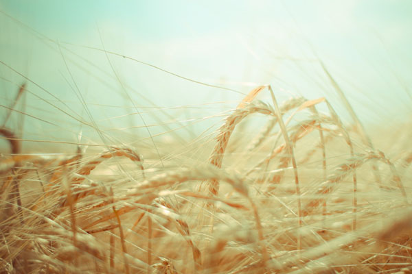 dreamy-grain-field