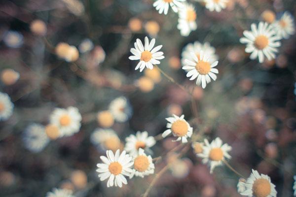 retro-daisy