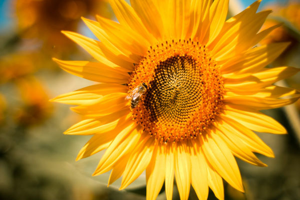 sunflower-with-a-bee