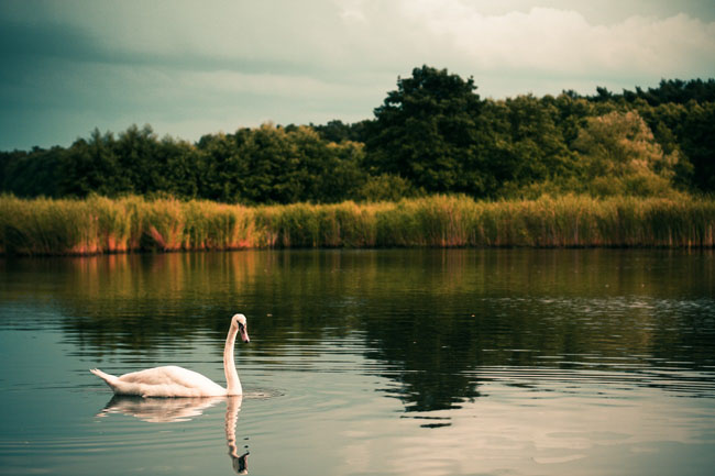 swan-on-the-lake