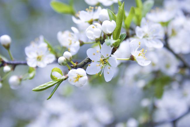 Blooming-fruit-trees-wallpaper