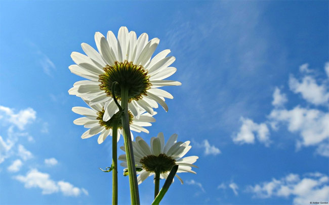 Blue-Sky-Daisies-Wallpaper