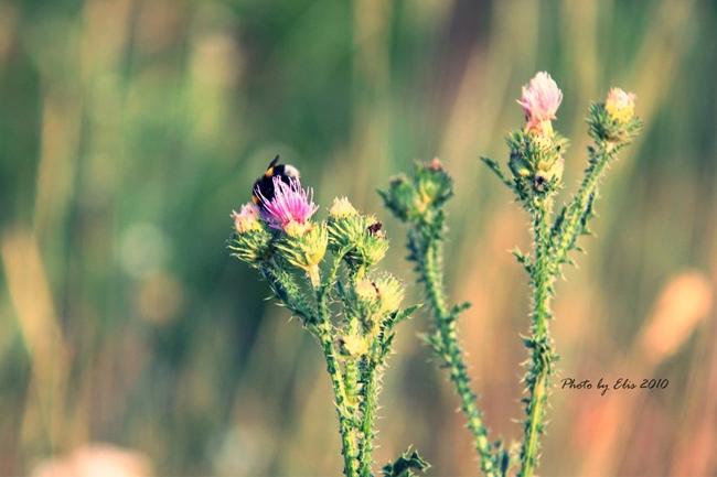 Bumble-bee-wallpaper