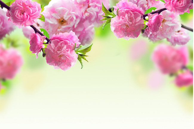 Cherry-flowers-wallpaper