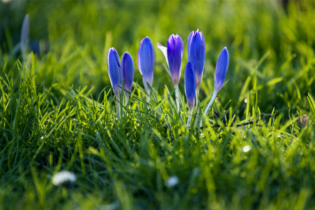 Crocuses-focus-wallpaper