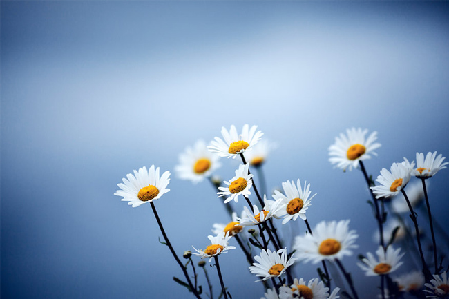 Daisies-blue-wallpaper