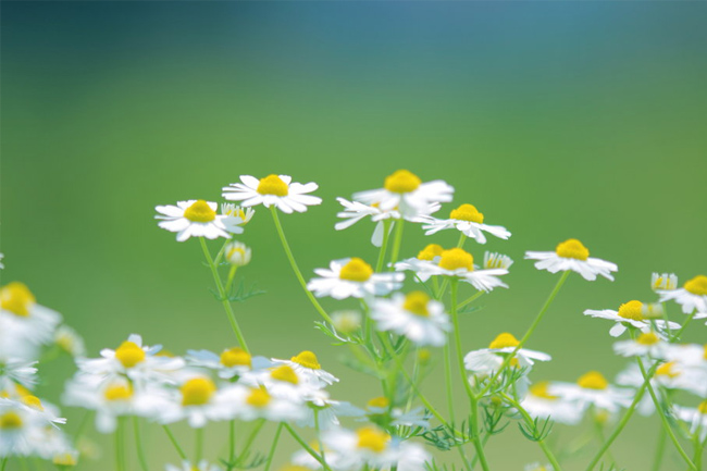 Daisies-wallpaper