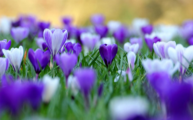 Flowers,-spring-crocuses-wallpaper