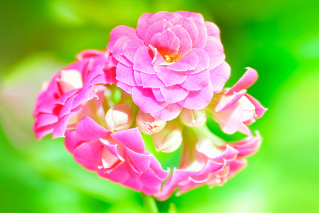 Kalanchoe-close-up-wallpaper