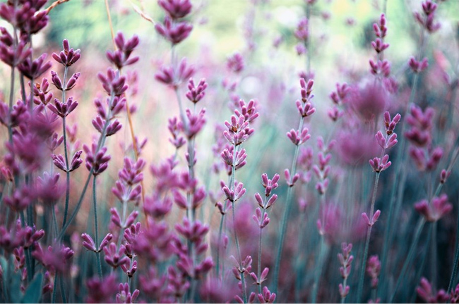 Lavender-wallpaper
