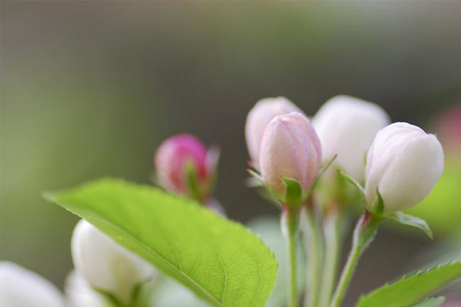Leaf-green,-apple-tree,-branch,-twig,-flower,-bud,-white,-pink,-color,-spring,-nature,-macro-wallpaper