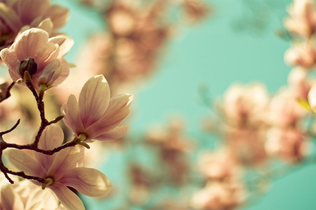 Magnolia-macro-wallpaper