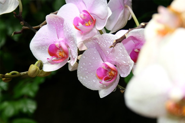 Orchids-wallpaper