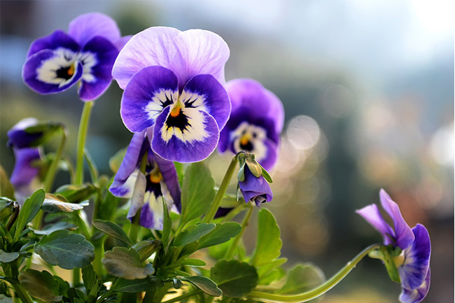 Pansies-flower-wallpaper
