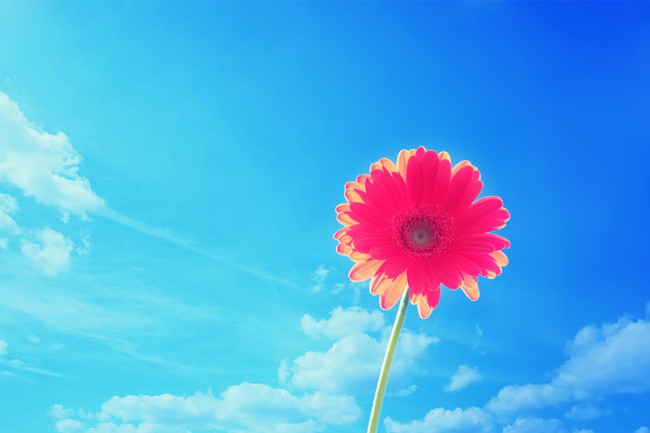 Pink Gerbera Flower Wallpaper