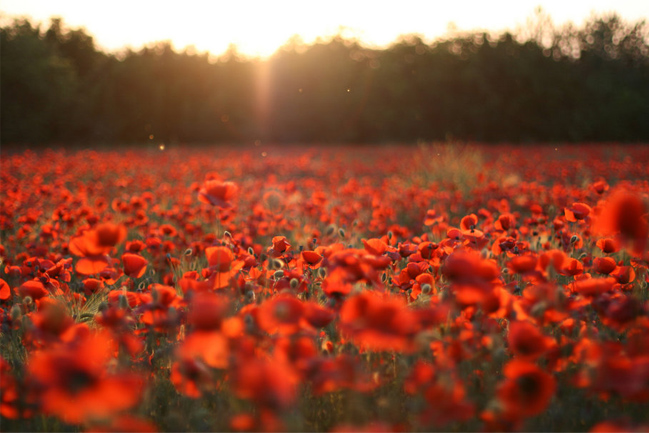 Poppies-flower-wallpaper