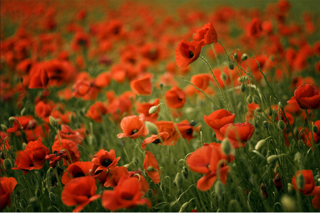 Poppies-wallpaper