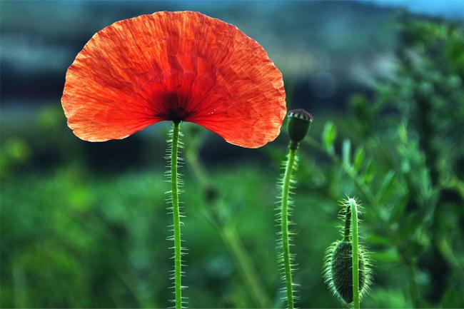 Poppy-blurred-wallpaper