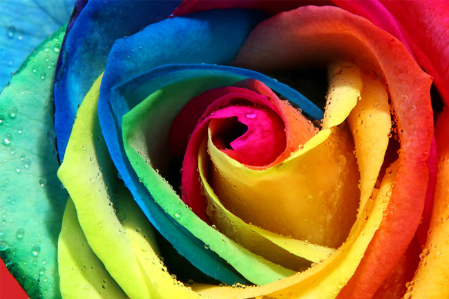 Rose-colorful-dew-wallpaper