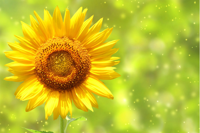 Sunflower-wallpaper