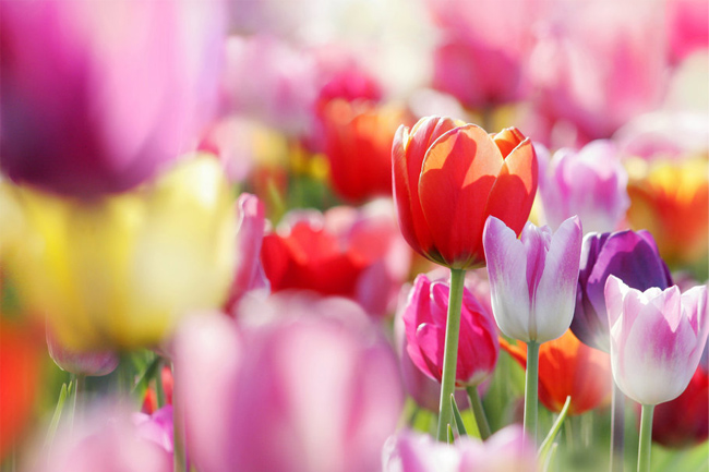 Tulips-flower-wallpaper