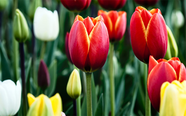 Tulips-in-Bloom-wallpaper