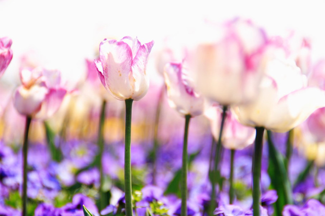 Tulips-spring-wallpaper
