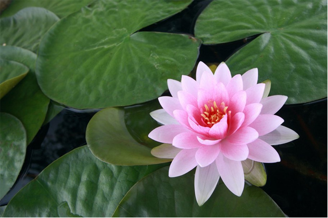 Water-lily-leaves-wallpaper