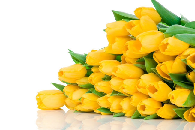 Yellow-tulips-wallpaper