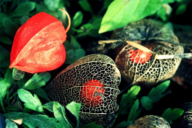 flowers-physalis-orange-box