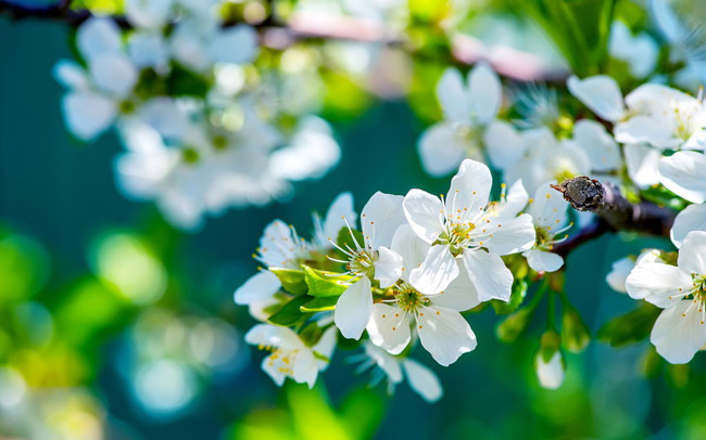 wpid-apple-flowers-wallpaper