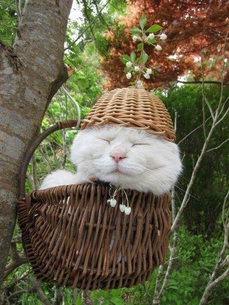 Shironeko – the most famous sleepy cat in the world