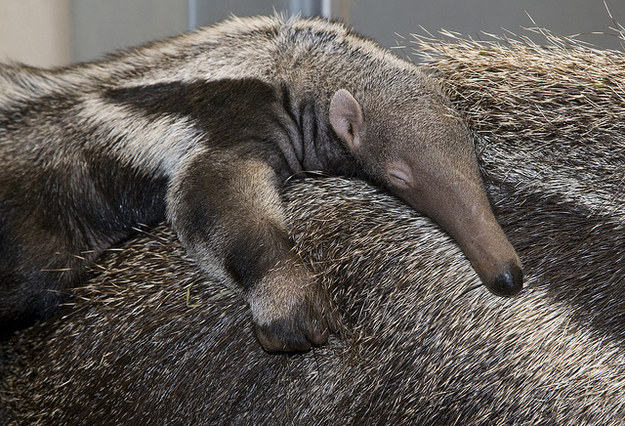 Anteater babies are called pups