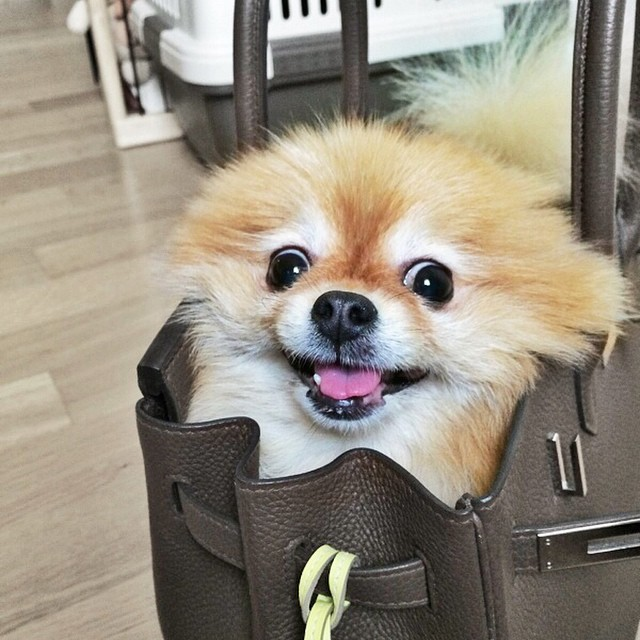 pomeranian in a bag