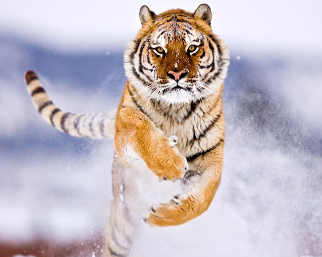 amur tiger in snow wallpaper