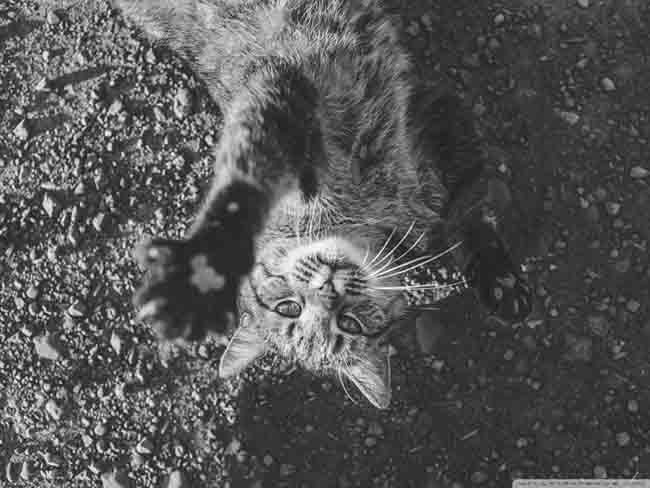 kitty_black_and_white-wallpaper