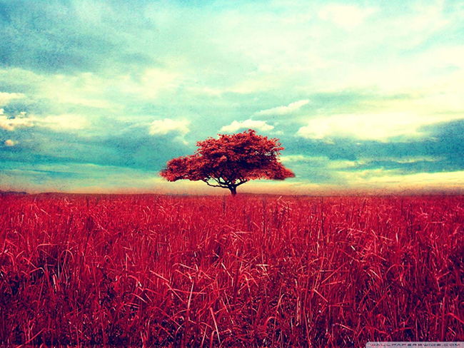 lone_red_tree-wallpaper-
