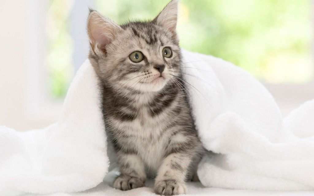 American Shorthair Kitten Wallpaper