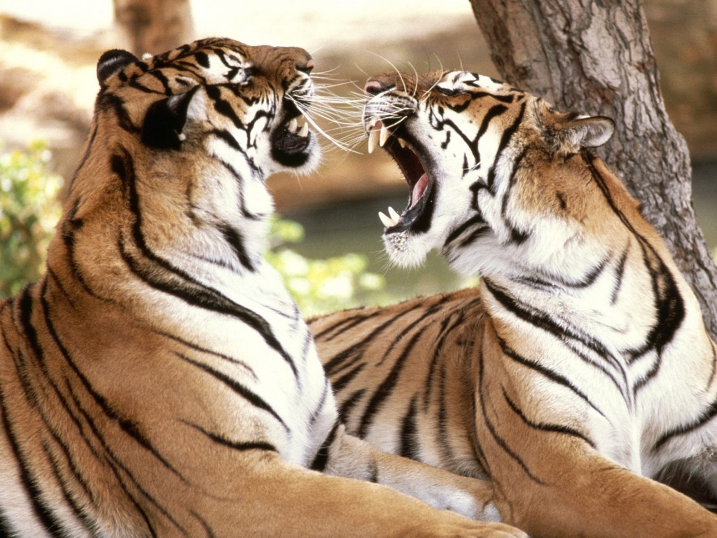 Bengal Tigers Wallpaper