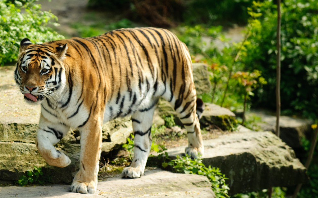 30 free beautiful tiger hd wallpapers designmaz - Tiger hd wallpaper for pc ...