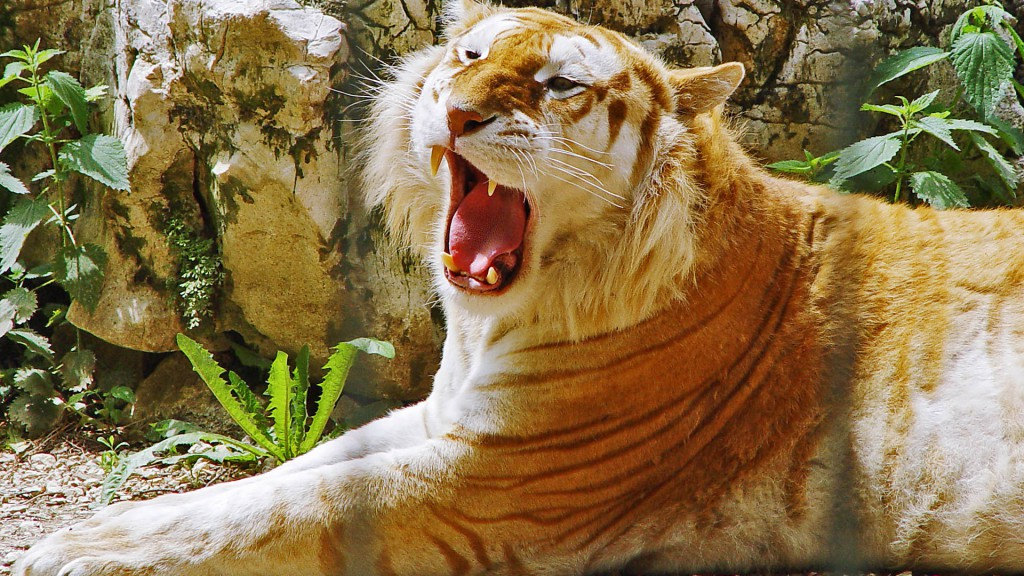 Golden Tiger HDTV 1080p Wallpaper