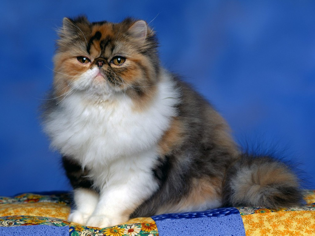 Persian Calico Kitten Wallpaper