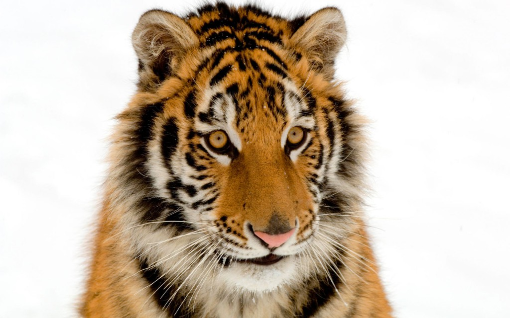 Portrait Of A Tiger Wallpaper