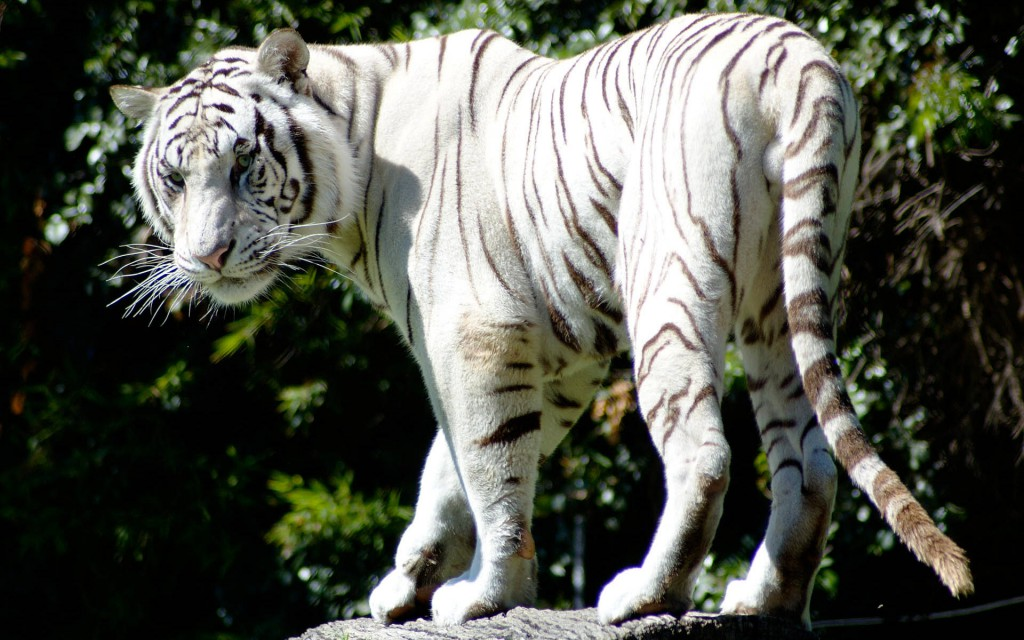 Rare White Tiger Wallpaper