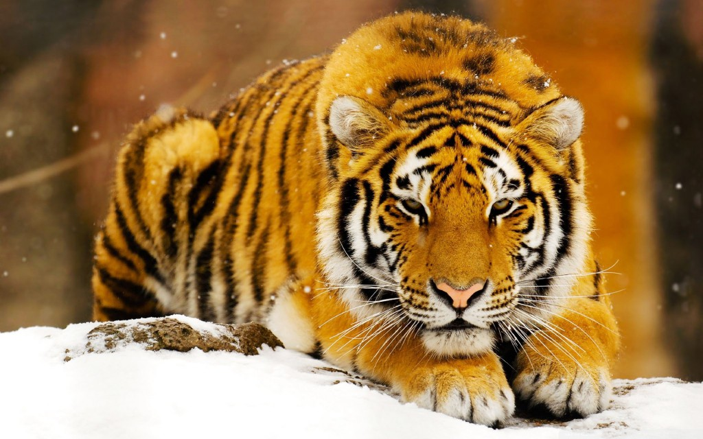 Siberian Snow Tiger Wallpaper
