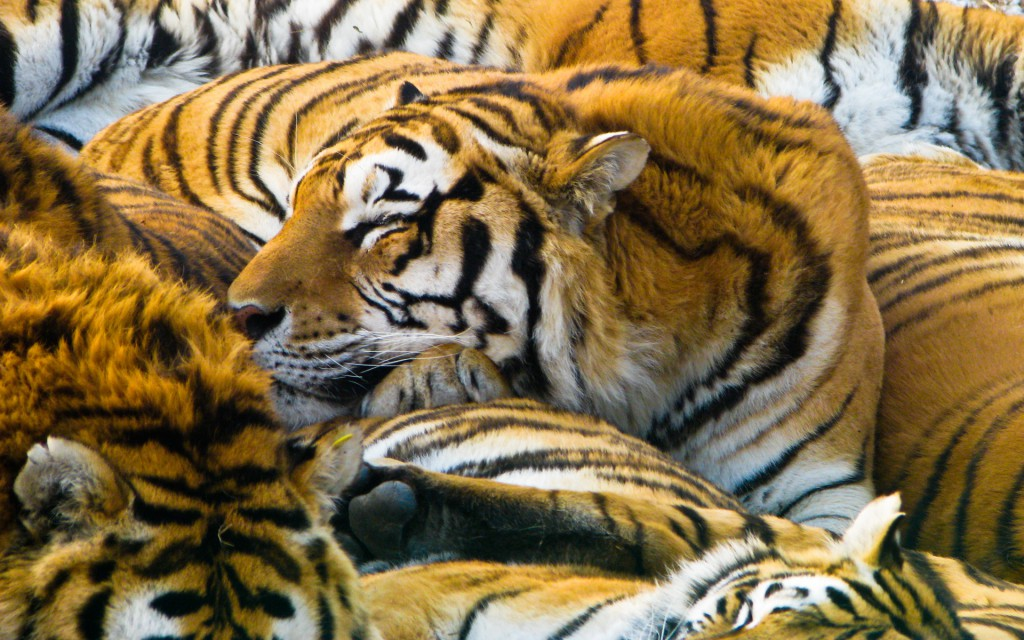 Sleeping Tigers Wallpaper
