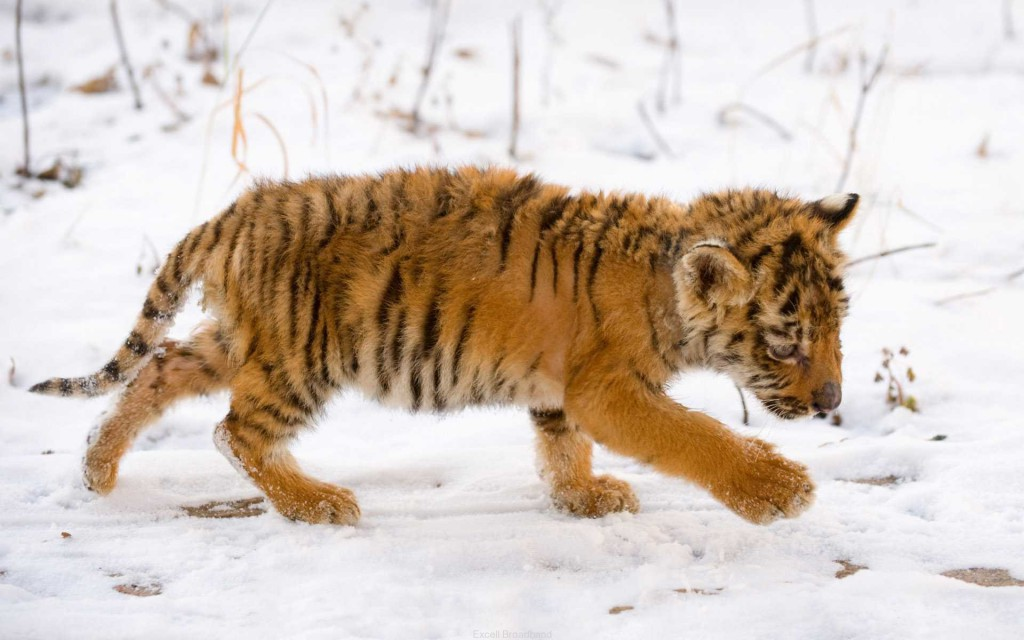 Snow Tiger Cub Wallpaper