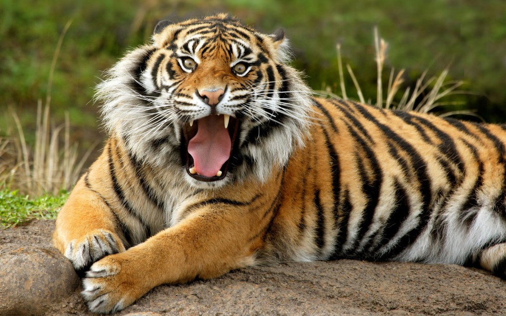 Sumatran Dangerous Tiger Wallpaper