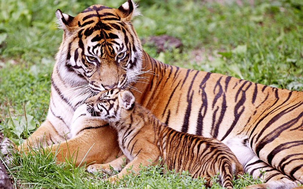 Tiger &Amp Baby Tiger Wallpaper
